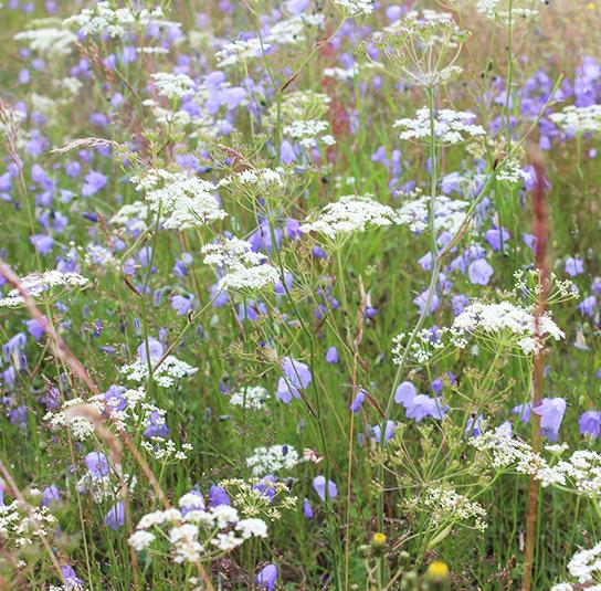 Blumenwiesen Saatgut für Biene Hummel und Schmetterling