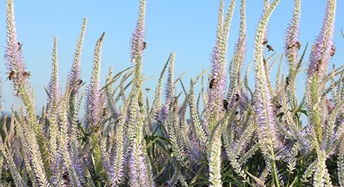 Pflanzen für Biene Hummel Schmetterling